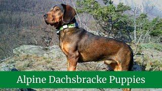 How to Take Care of Alpine Dachsbrackes || Alpine Dachsbracke Training || Alpine Dachsbracke Puppies