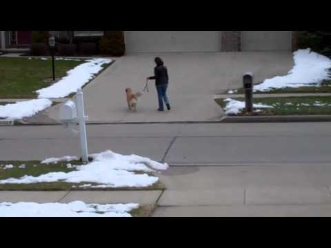 Dog Stops Leash Pulling Using Easy Walk Harness