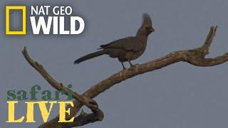 Safari Live - Day 14 | Nat Geo WILD