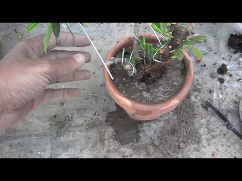 Taking A Cutting From A Tree | Growing Trees From Cuttings (Urdu/Hindi)