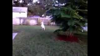Train Your American Bull Dog To Catch A Frisbee