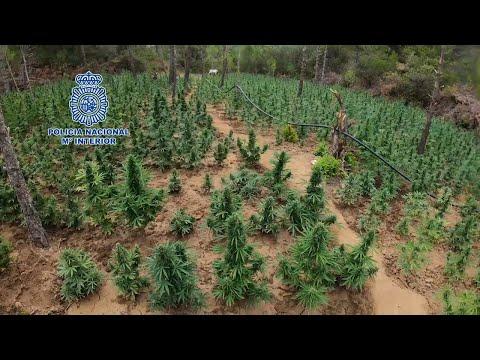 Localizan en Aragón unha enorme plantación de marihuana