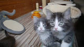 Норвежские лесные котята Артур, Аксель, Алисия, Алана, Аврора, fashionpeak.ru