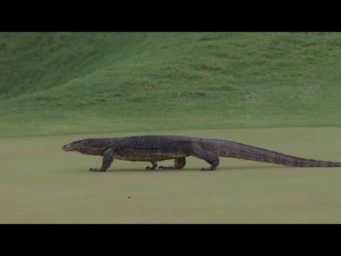 شاهد: سحلية عملاقة تزور لاعبي الغولف خلال البطولة المفتوحة في كوالالمبور…  - 16:53-2018 / 10 / 13