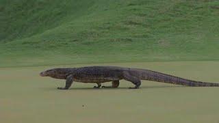 شاهد: سحلية عملاقة تزور لاعبي الغولف خلال البطولة المفتوحة في كوالالمبور…