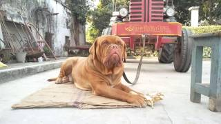 Badass French mastiff
