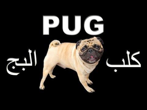 Pug dog كلب الـ بج