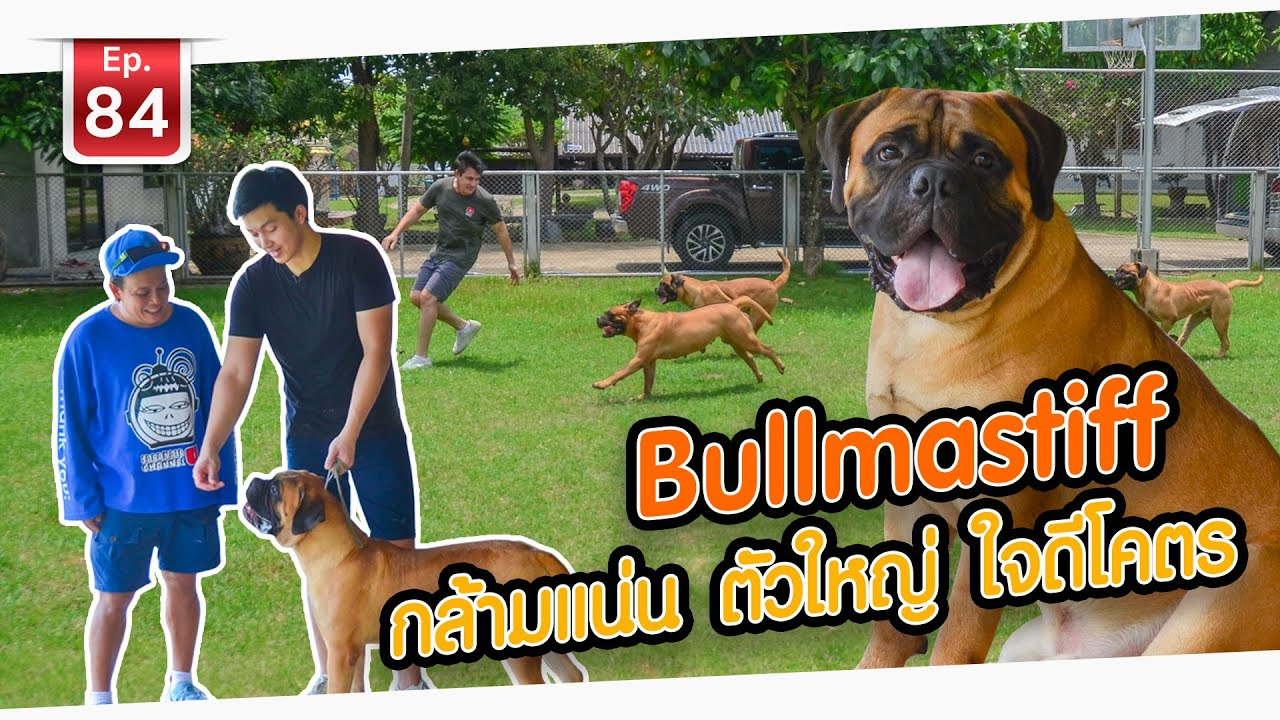 Bullmastiff กล้ามแน่น ตัวใหญ่ ใจดีโคตร! - เพื่อนรักสัตว์เอ้ย EP.84