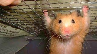 Funny Hamster Compilation