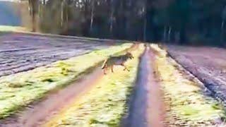 Wolf verfolgt Spaziergängerin in Niedersachsen – Experten bestätigen Echtheit des Videos
