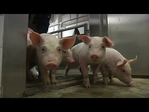 Pig 'hotels' - Chinese Farmers Build Upwards Amid Rush To Expand