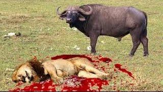 Duel Sengit ..Singa Ini Mati Setelah Ditanduk Oleh Kerbau