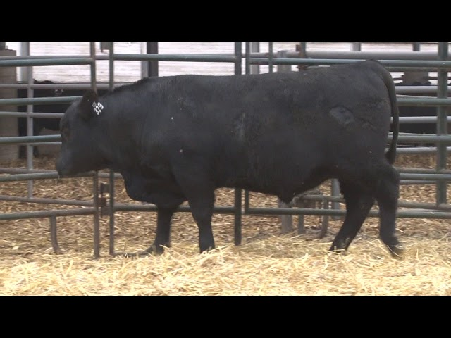 Schiefelbein Angus Farms Lot 329