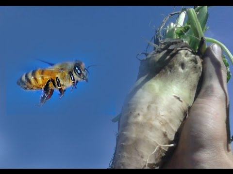 Honey Bees and Sugar Beets
