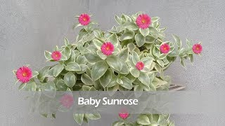 How to Grow and Care for Baby Sunrose | Aptenia Cordifolia | Summer Care of Ice Plant