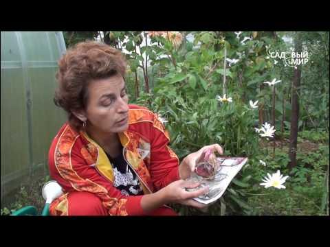 лилия садовая candidum посадка и уход в открытом грунте фото