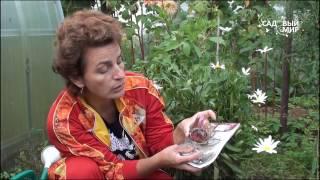 Смотреть видео хризантемы домашние горшках отвела