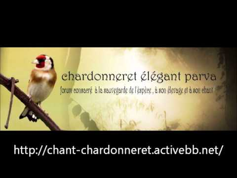 chant chardonneret algerie mp3