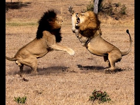 Lion fight with man - photo#29