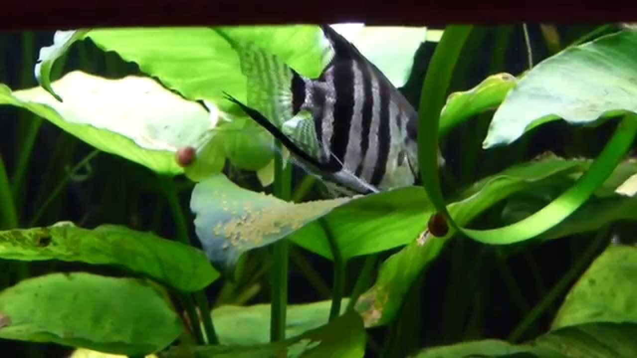 Silver tiger striped angel fish breeding youtube for Tiger striped fish