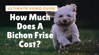 How Much Does A Bichon Frise Cost? Ultimate Video Guide