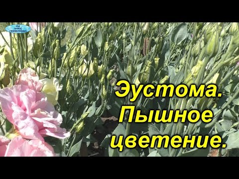 Подкормка эустомы для пышного цветения!
