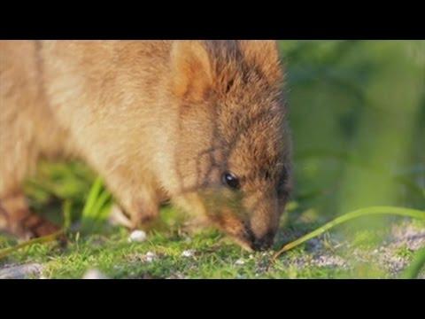 Marsupial Quokka El quokka, el m...