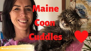Maine Coon Cuddle: Life With A Maine Coon