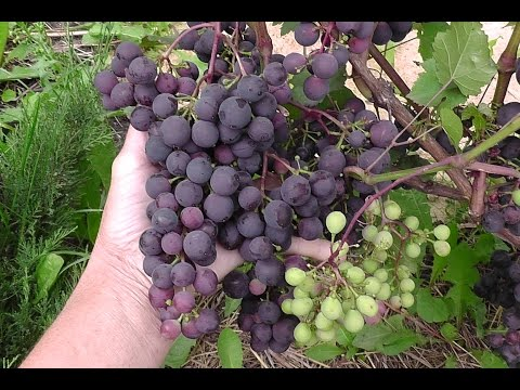 Виноград Загадка Шарова / выращивание в Кузбассе