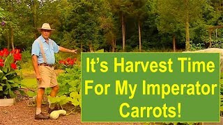Early-Summer Garden Update 2016: It's Harvest Time for My Imperator Carrots!