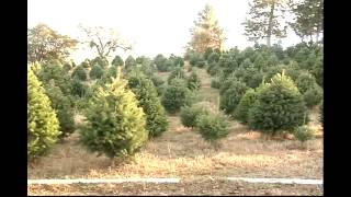 Christmas Tree Farms Open and Successful
