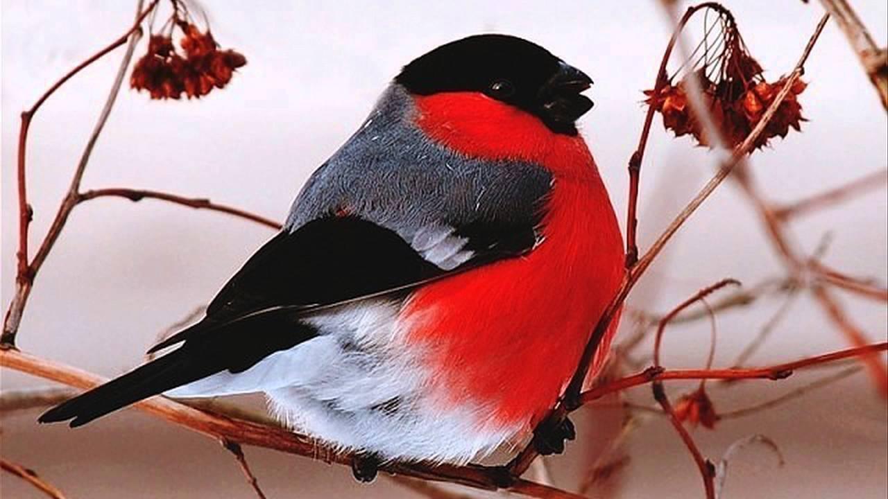 Зима Удивительные птицы снегири - YouTube