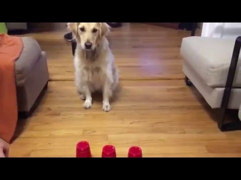 Dog plays shell game
