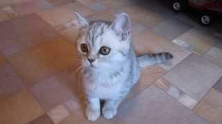 """Котенок окраса """"Вискас"""" :-)"""