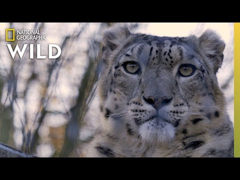Snow Leopards 101 | Nat Geo Wild