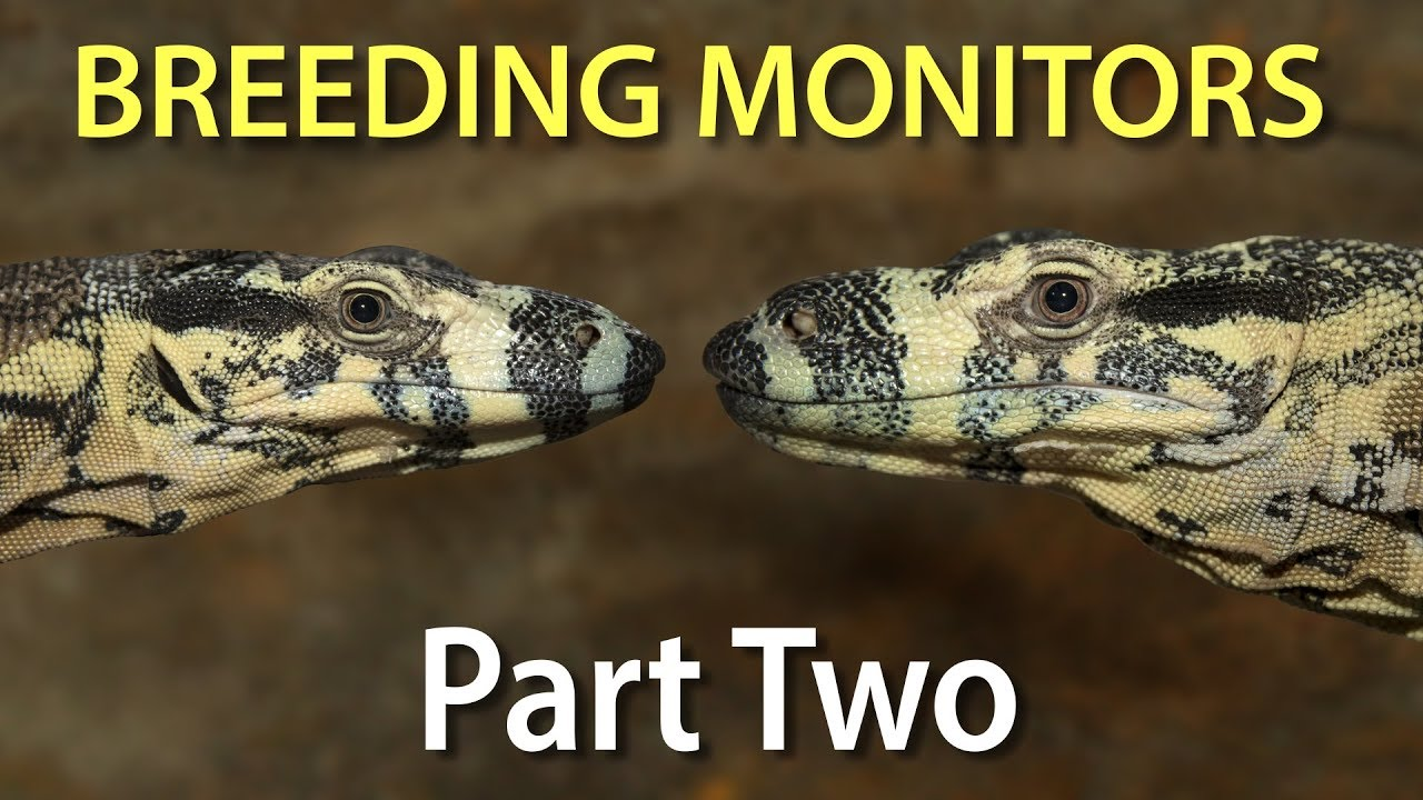 Breeding monitor lizards in captivity: Part two - determining the ...