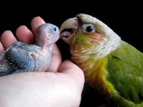 how to hold a conure