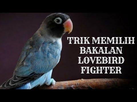 Trik memilih bahan atau bakalan lovebird paling bagus