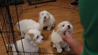 Coton Puppies For Sale - Peaches 10/30/19