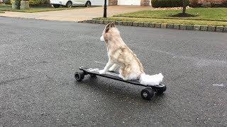 Electric Skateboarding Siberian Husky