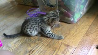 F3 Savannah kitten Calvin loves his pipe cleaner