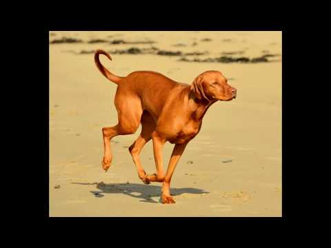 Vizsla - mid-size dog breed