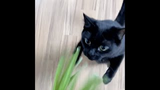 고양이가 집중할 때 / 새싹보리 먹방 / Catn…