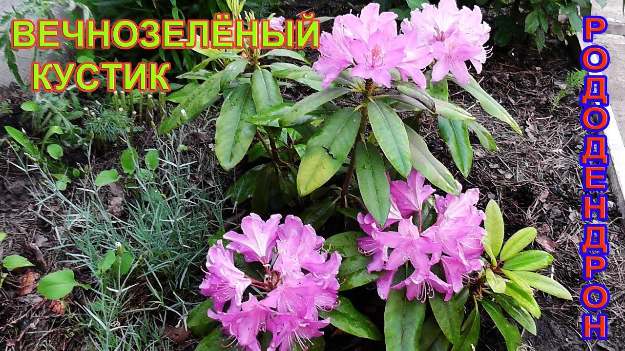 рододендрон вечнозеленый