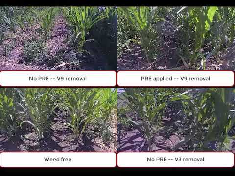 Critical Time of Weed Removal (CTWR) in Popcorn