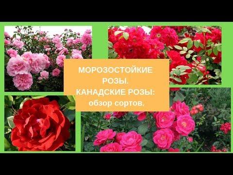 Морозостойкие розы.  Канадские розы: обзор сортов