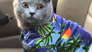 Chú mèo đua xę hài hước, mèo dễ thương, cat funny, clip hài hước