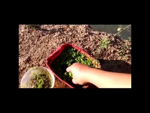 AMAZING! Azolla natural livestock feed for tilapia