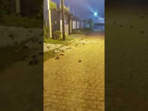 """Vídeo: Caranguejos """"invadem"""" ruas de cidade no interior da Bahia"""
