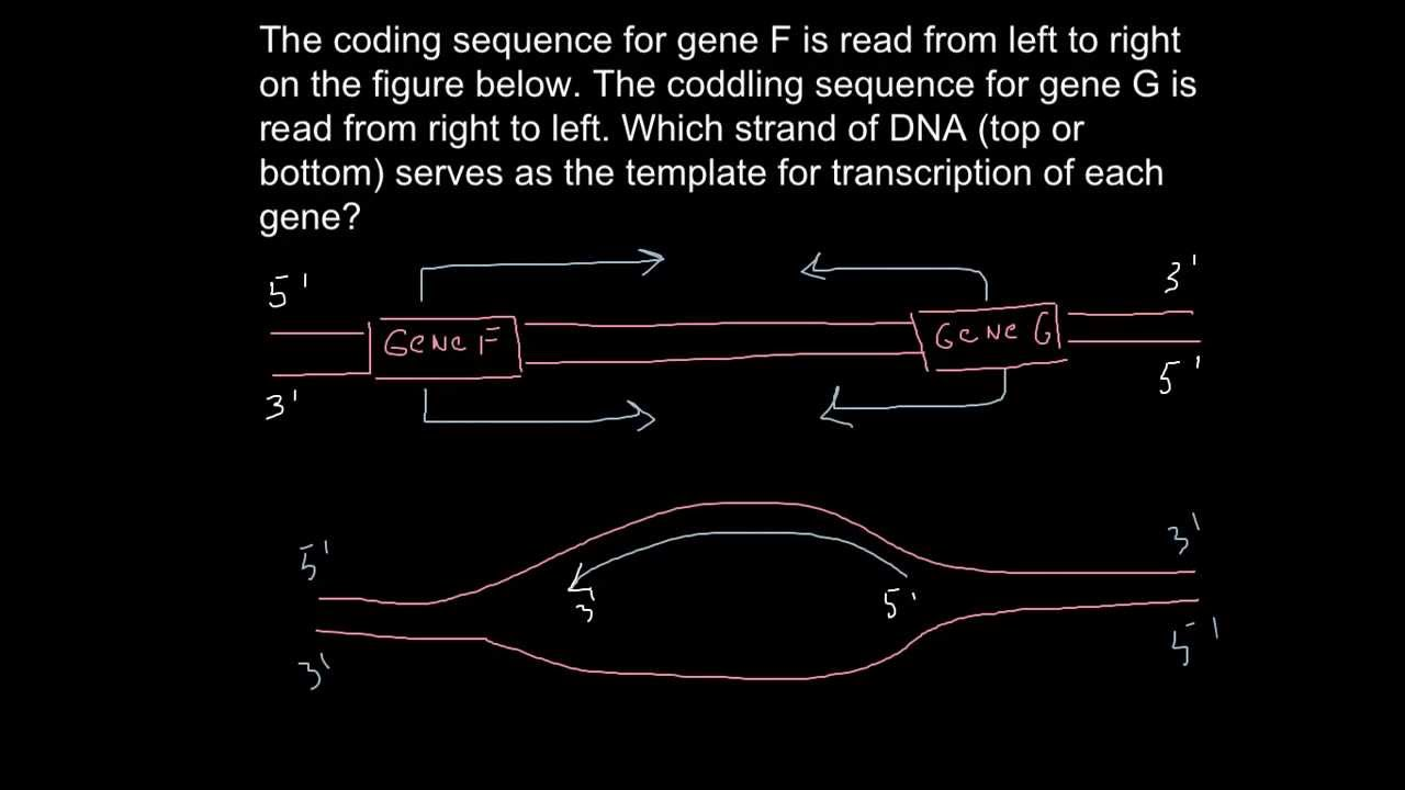 what is a template strand - which strand of the dna serves as template for rna youtube